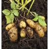Kartofler nyopgravede