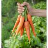 Gulerødder nye